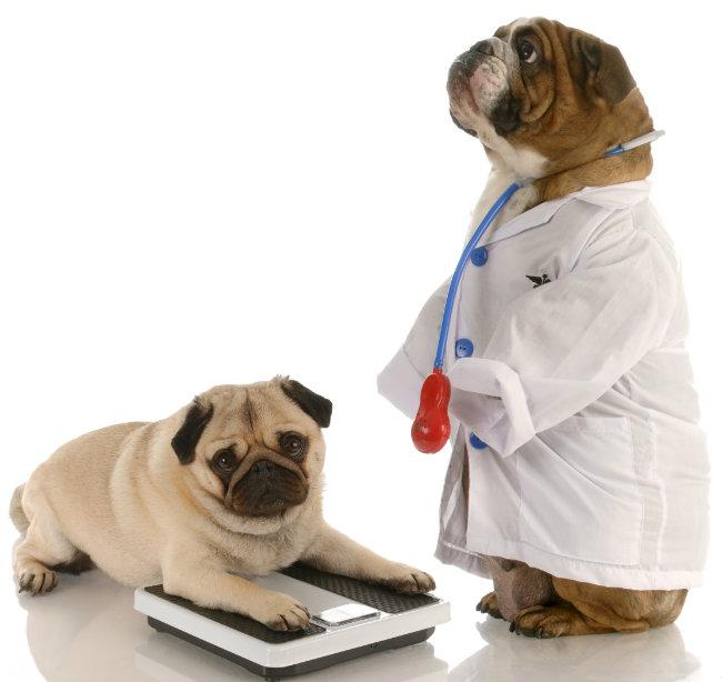 ¿Qué es la insulina y por qué es importante si tu mascota tiene sobrepeso?